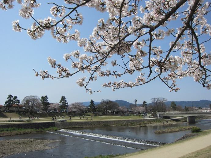 Cherry Blossoms at Kamogawa River