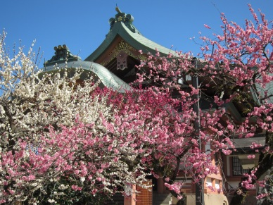Plum Blossoms in Kitano Tenmangu Shrine