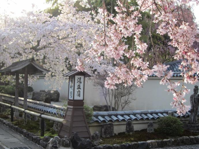 The Cherry blossoms in Arashiyama