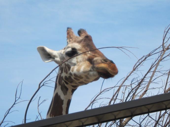 Giraffe in Kyoto Zoo