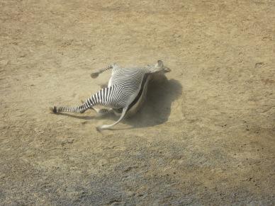 Zebra in Kyoto Zoo