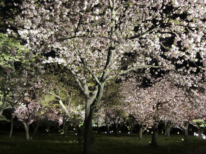 Sakura Illumination in Kyoto