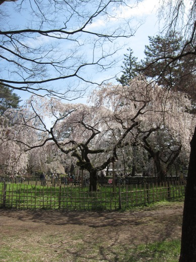 Cherry Blossoms at Imperial Palace Garden