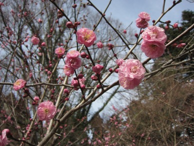 Plum Blossoms at Kyoto Botanical Garden