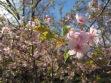 Kawazu Cherry Blossoms at Kyoto Botanical Garden