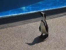 A penguin at Kyoto Aquarium